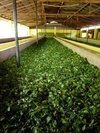 White tea plantation